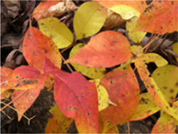 Beautiful fall colors of poison ivy